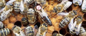 Caucasian Bee 300x125 - Races of Bees in Latrobe Valley